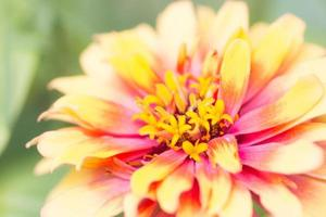 gele meeldraden close-up foto