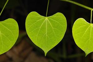 macro bladeren van de wijnstok foto