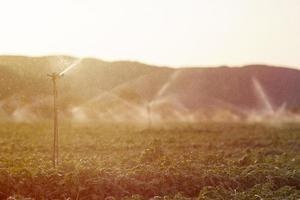 irrigatie sprinkler in een basilicum veld bij zonsondergang foto