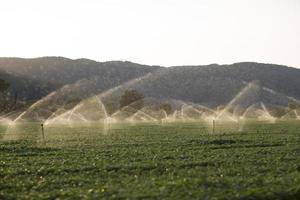 irrigatiesproeiers in een basilicumveld bij zonsondergang foto