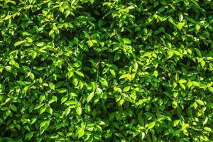 groene struikenmuur voor textuur of achtergrond