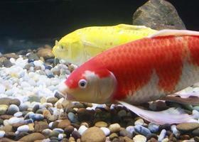 oranje en gele vissen
