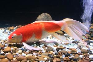 oranje en witte vis foto