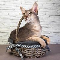 portret van oosterse korthaar kat in een mand