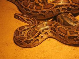 close-up van een python