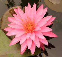 roze en oranje bloem
