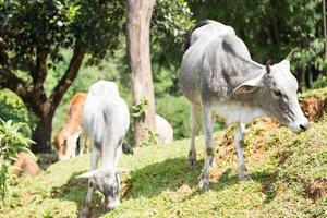 cattles op een heuvel foto