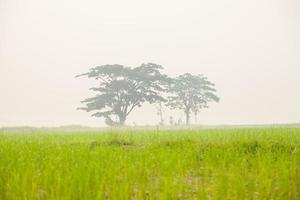 bomen op de rijstvelden foto