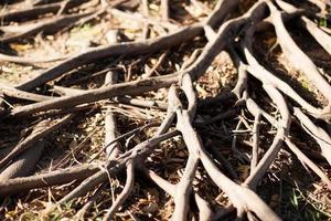 wortels van een boom foto