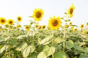 zonnebloemen op een zonnebloemboerderij foto