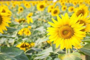 zonnebloemen op het zonnebloemveld foto