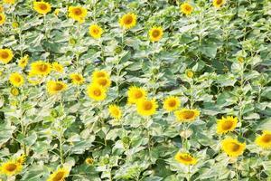 zonnebloem op het zonnebloemveld foto