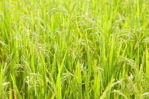 rijst op het rijstveld