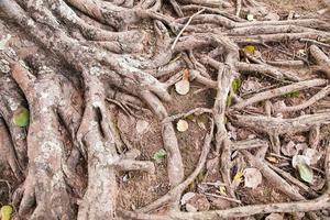 wortels van een oude boom in het park foto