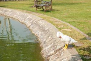 witte eenden in het park