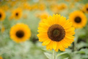 close-up van een bloeiende zonnebloem in een veld met wazig aard achtergrond foto