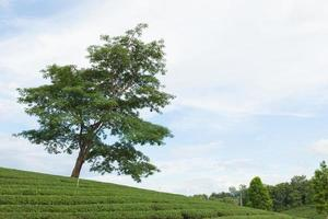 boom op een theeboerderij foto