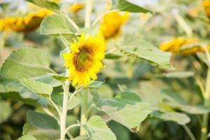 zonnebloemen op een zonnebloemboerderij