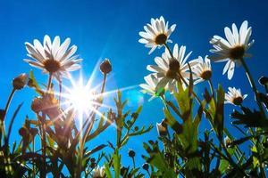 witte madeliefjes op blauwe hemel met zonlicht foto
