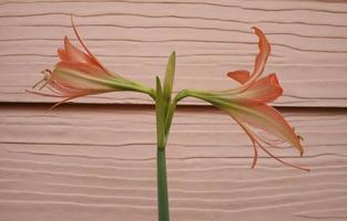 twee amaryllisbloemen