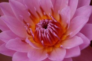 roze en oranje lotusbloem