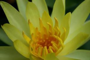 gele lotusbloem op zwart