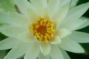 bovenaanzicht van een lotusbloem