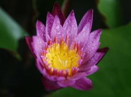 roze en gele bloem met regendruppels