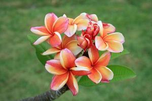 oranje en roze frangipanibloemen