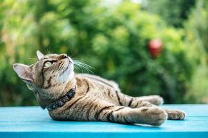 close-up van een Cyperse kat op een blauw oppervlak foto
