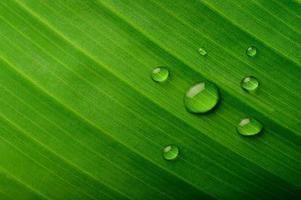 veel druppels water op bananenbladeren foto