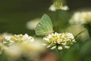 vlinder op een lichtgele bloem foto