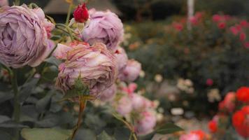 de rozentuin in de rozenstad foto