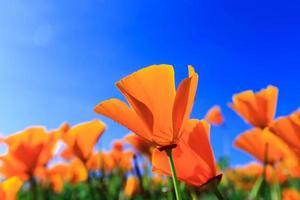 papaverveld en wilde bloemen in zonlicht onder een blauwe hemel foto