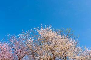 roze kersenbloesems met een blauwe lucht op de achtergrond