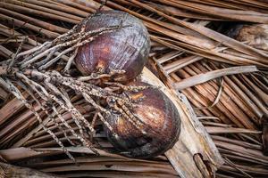 gedroogde kokosnoten op gedroogde kokosbladeren foto