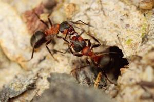 twee mieren vechten foto