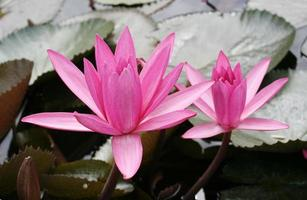 roze lotusbloesems foto