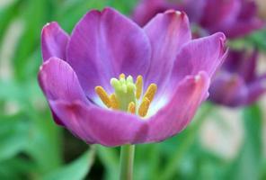 paarse tulp bloem foto