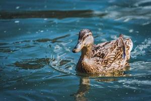 wilde eend die in een meer zwemt foto