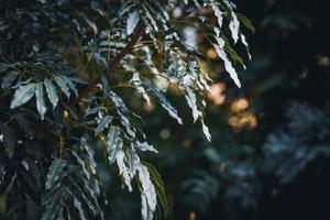 bladeren van cape ash tree foto