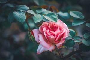 hybride theeroos met roze bloemblaadjes foto
