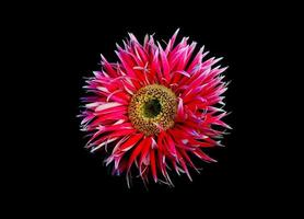 roze madeliefje op zwart foto