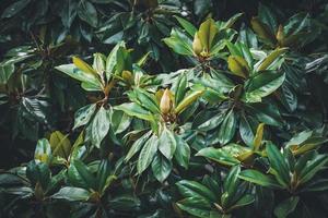 magnolia ontluikt tussen het groene gebladerte foto