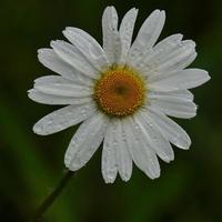 witte margriet bloem plant in de tuin foto