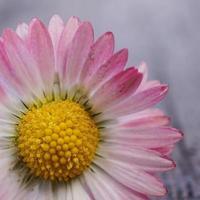 roze en witte margrietbloem in de tuin foto