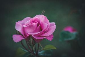 gecultiveerde roze roos foto