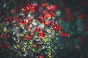 rode bloemen van salie foto