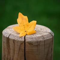 geel esdoornblad in de herfstseizoen foto