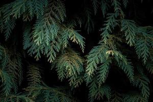 groene pijnboombladeren in de natuur foto